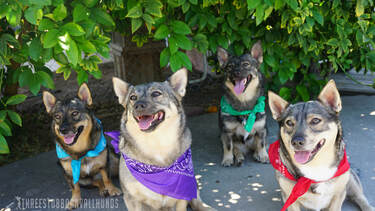 Windstorm Dogs, Swedish Vallhunds, Tracy California